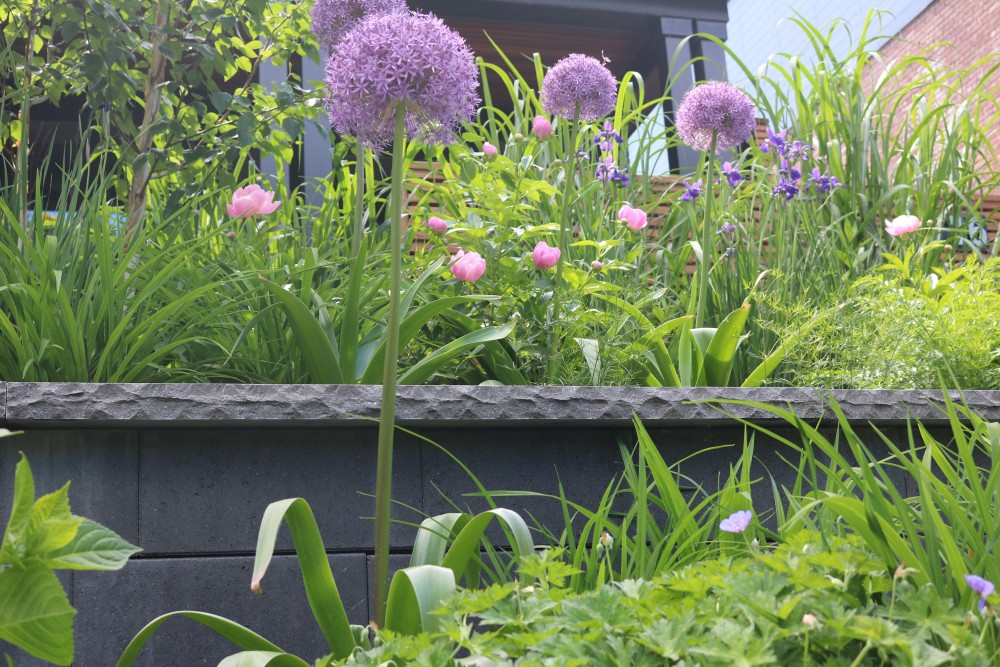 allium - contemporary spring bulbs