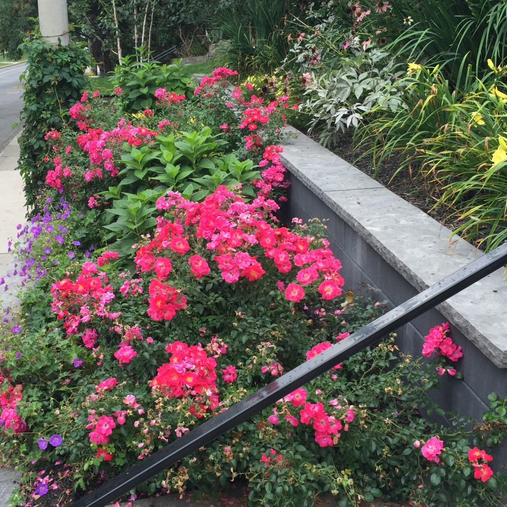 Carpet rose, tiered front yard, natural stone coping